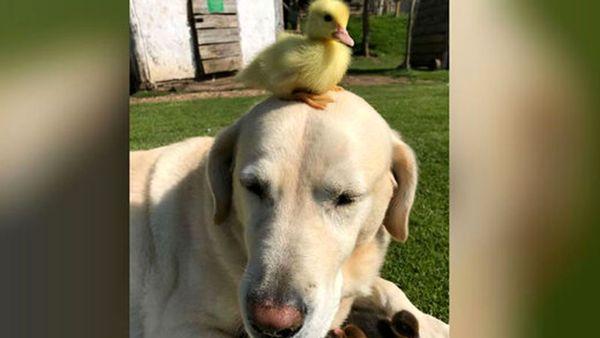 دوستی بامزه یک سگ با اردک+ فیلم