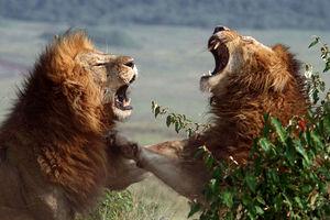 نبرد خونین شیرهای نر