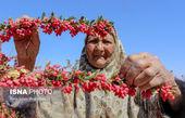 تصویر بامزه پیرزن در مزرعه زرشک