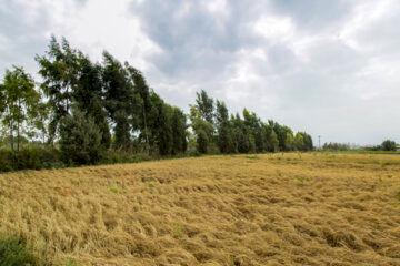 خشکی شالیزارهای گلستان