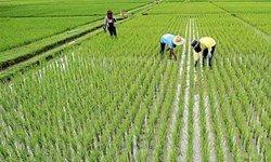 معمای حل نشده واردات برنج