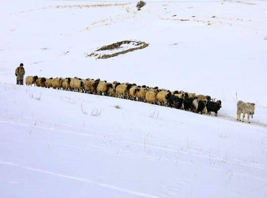 حرکت گله گوسفندان در روز برفی+ عکس