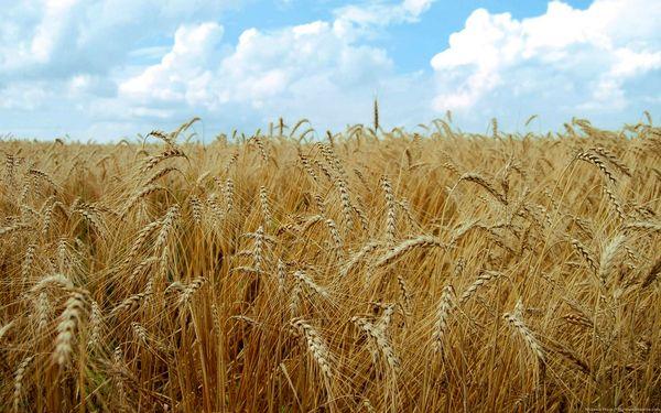 خشکسالی تهدیدی برای تولید گندم