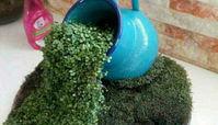 آموزش کاشت سبزه آبشاری