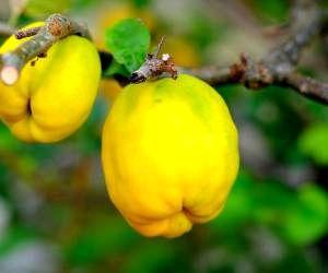 خواص عالی به میوه زیبایی و ضد سرطان