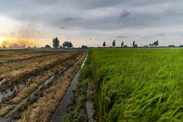 تقابل به آتش کشیدن زمین کشاورزی برای سود بیشتر و مزارع سبز برنج