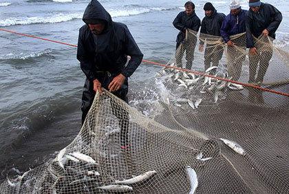 صیادان گلستانی 255 تن انواع ماهیان استخوانی صید کردند