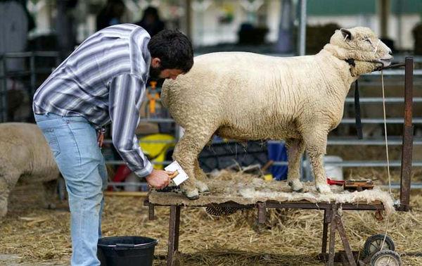 گوسفند خوش هیکل+ عکس