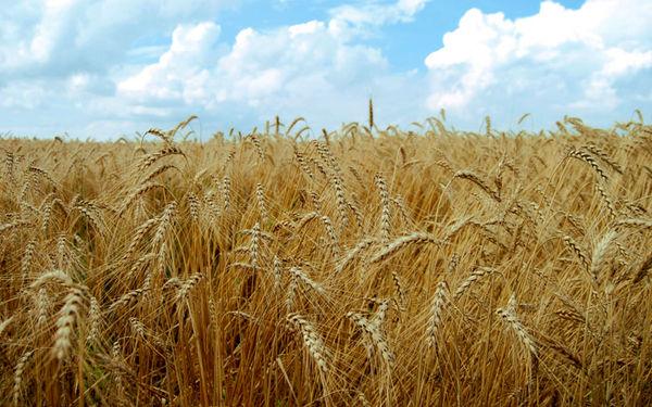 2 هزار و 850 هکتار از مزارع گندم شهرستان گچساران دیم است
