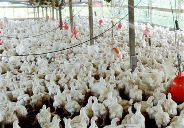 قیمت فروش مرغ کشتار در بازار