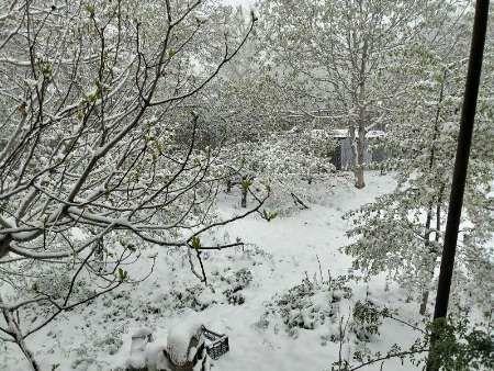 رنگ باختن خوشحالی گیلاس کاران مازنی با برف بهاری