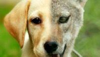 سگ زرد برادر شغال است