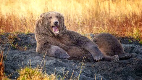 منو مثل اون خرسهای فرانسویتون بکش! عکاس Wenona Suydam آلاسکا