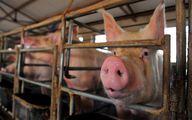 ۴ دلیل برای این که نگران آنفلوانزای خوکی جدید نباشیم