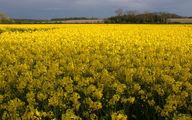 امسال 140 تن دانه مرغوب روغنی کلزا از مزارع گیلان به دست می آید