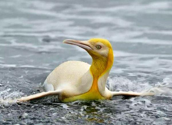 پنگوئن نادر طلایی رنگ+ عکس