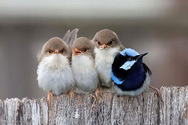 توییتر:: حمایت پرندگان از جوجه هایشان