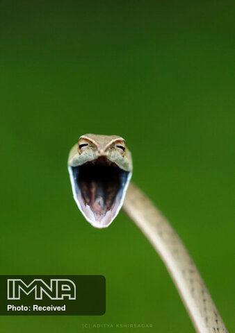 مار خندان عکاس Aditya Kshirsagar رشتهکوه سَهیادری هند