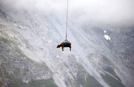 پرواز یک گاو ! + عکس