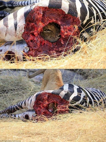 دید زدن شیر از حفره امعاء و احشاء گورخر!
