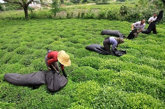 سهم چای ایرانی از بازار جهانی چقدر است؟