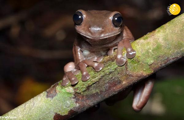 کشف بامزهترین قورباغه جهان!+عکس