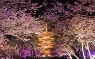 سلفی با شکوفههای بهاری در ووهان چین+ عکس