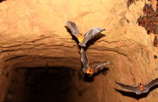 کشف ۴ گونه خفاش مرتبط با کروناویروس