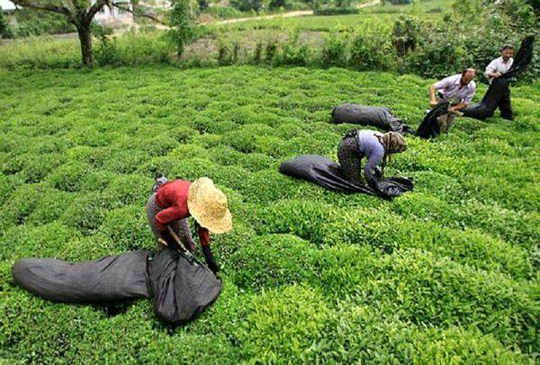 خریداری 41 هزارتن برگ سبز چای از چایکاران گیلان و مازندران