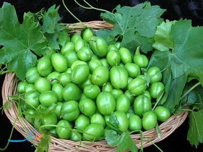 برداشت 1500 تن گوجه سبز در گیلان