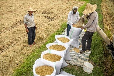 پس از برداشت برنج توسط دستگاه کمباین آنها را در کیسه ریخته و بسته بندی میکنند