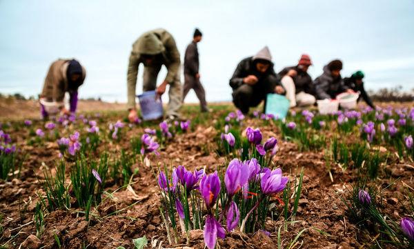 خرید توافقی زعفران امری مهم در راستای حقوق کشاورزان