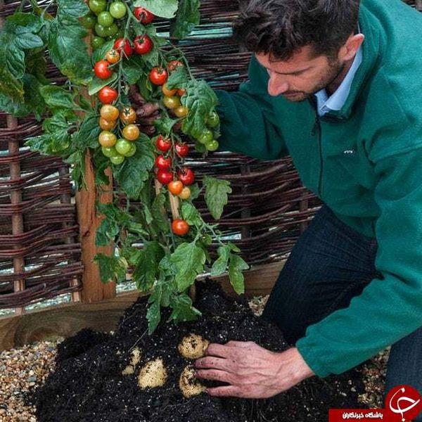 گیاهی که همزمان دو میوه متفاوت می دهد