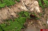 سه گاو خوش شانس بعد از زلزله زلاندنو+تصاویر