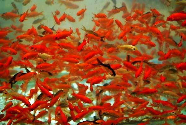 توصیههای دامپزشکی درباره خرید ماهی قرمز
