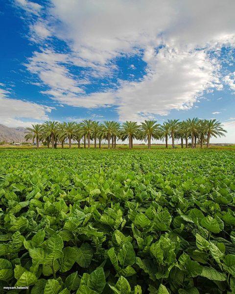 باور کنید این طبیعت بوشهر است + عکس