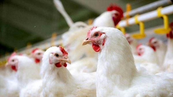 فروش مرغ بالاتر از ۱۵ هزار تومان ممنوع!