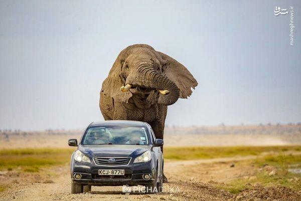 فیل عظیم الجثه به دنبال خودرو+ تصاویر