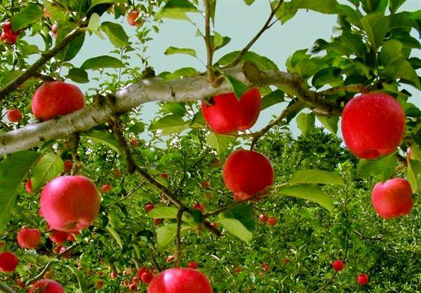 عوامل متعددی در گرانی سیب دخیل است