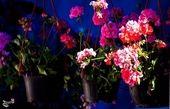 نمایشگاه گل و گیاه و گیاهان دارویی در همدان برپا میشود