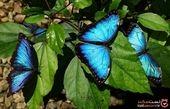 زیباترین پروانه های دنیا + تصاویر