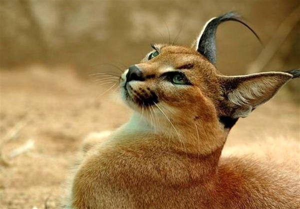 کاراکال گربه سان کمیاب برای اولین بار دیده شد ولی مرده