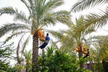 کارگران در حال چیدن دانه های رطب از نخل های دشتستان