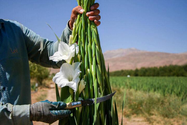 برداشت گل گلایل از مزارع مورچگان